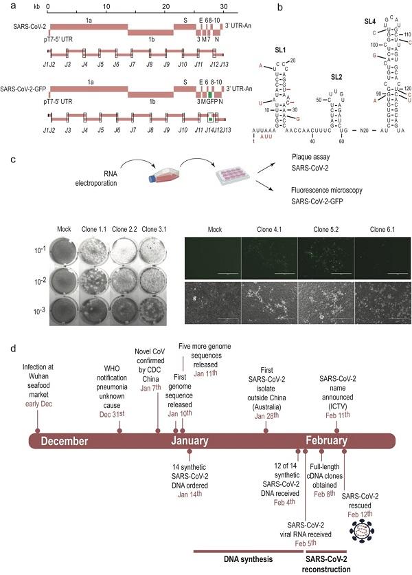 人类首次人工合成活新冠病毒,为实验室毒株供给提供新途径